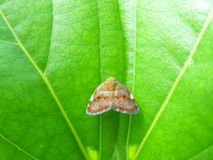 Little brown butterfly on the bright green leaf. Close-up of one little brown butterfly on the bright green leaf Royalty Free Stock Photos