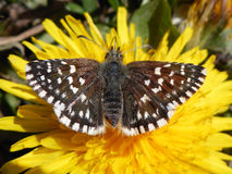 Little brown butterfly. On the dandelion Royalty Free Stock Images