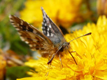 Little brown butterfly. On the dandelion Stock Photos