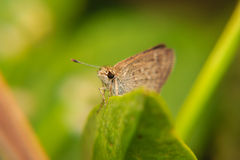 Little brown Butterfly on green leaf. Close-up macro Stock Photo