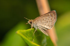 Little brown Butterfly on green leaf. Close-up macro Stock Image