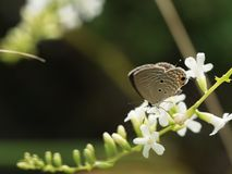The Little Brown Butterfly Sucking Nectar stock photography