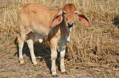Little brown calf in the sunlight Stock Image