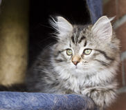 little brown cat of siberian breed at two months on the scratching royalty free stock photography