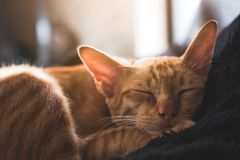 A little brown cat sleeping on a black pillow with feeling cozy and comfortable Royalty Free Stock Image
