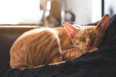 A little brown cat sleeping on a black pillow with feeling cozy and comfortable Stock Photo