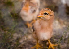 Little brown chicken. Being attracted by something and watching in that direction Stock Photo