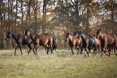 The little brown colt pony. Grazing in the autumn field royalty free stock photo