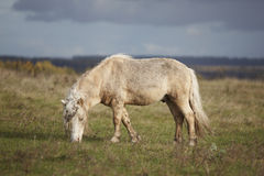 The little brown colt pony Royalty Free Stock Photo