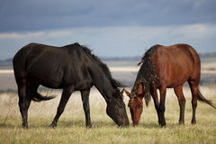 The little brown colt pony. Grazing in the autumn field stock photo