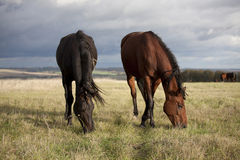 The little brown colt pony. Grazing in the autumn field stock image