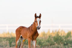 The little brown colt who two days old. Portrait of a baby horse on a light background in the paddock royalty free stock images
