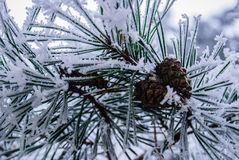 Cone in the snow. Little brown cones, pine tree Stock Image