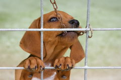 Little brown dog Stock Photography