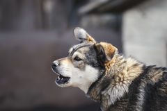 Little brown dog barks loudly Stock Images