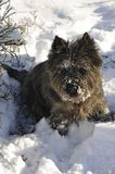 Little brown dog that digging in the snow Royalty Free Stock Images