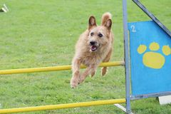 The little brown dog jumps the obstacles of agility contest. A little brown dog jumps the obstacles of agility contest royalty free stock image