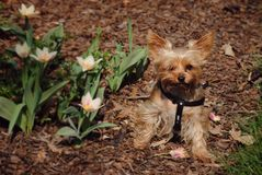Yorkshire puppy feels the spring. Little brown dog sitting on meadow with blossom tulip. Yorkshire feels the spring Royalty Free Stock Images
