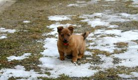 Little brown dog in the yard Stock Images