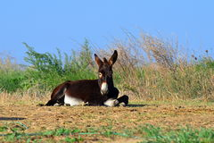 Little brown donkey Stock Photography