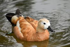 Duck Ogar on the surface of the pond stock photography
