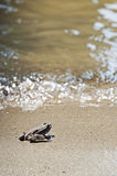 Little brown frog on the sand. Is looking the water Royalty Free Stock Images