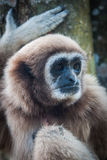 Little Brown Gibbon, Koh Samui, Thailand Royalty Free Stock Image