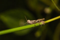 Little brown grasshopper perched on stem of plant Stock Images