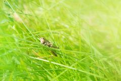 Little brown grasshopper sitting on a blade of grass in beautifu Royalty Free Stock Photo
