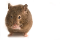 Little brown hamster. Fat cute brown hamster isolated on white with copy space Stock Image