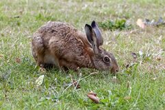 Free Little Brown Hare Eating Grass In A Park Royalty Free Stock Photography - 187934027