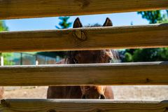 Little brown horse behind the fence freedom. Cattle breeding Royalty Free Stock Photo