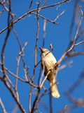 Little brown job, Prinia, small light brown lovely, cute bird Royalty Free Stock Images