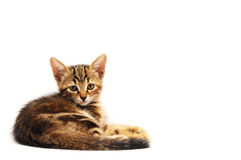 Little brown kitten. Sweet brown kitten over white background watching you Royalty Free Stock Image