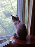 Little brown kitten look out from window Royalty Free Stock Image