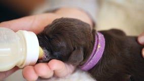 Little brown labrador puppy milk feasting stock video