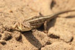 A little brown lizard runs across the brown sands stock photography