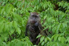 A little brown monkey with her baby sits in the branches of a tree, looks at the camera and wipes her mouth soiled after eating stock images