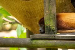 Little brown monkey resting and watching stock images