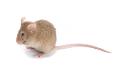 Little brown mouse. Stock Photos