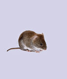 Little brown mouse Stock Photos