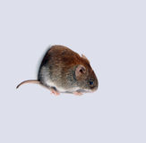 Little brown mouse Royalty Free Stock Photography