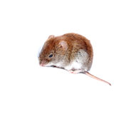 Little brown mouse isolated Stock Photos