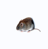 Little brown mouse Stock Images