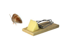 Little brown mouse next to mousetrap with a piece of cheese isol Royalty Free Stock Image