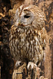 Little brown owl sitting on a tree Stock Photos