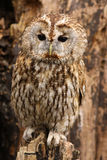 Little brown owl standing on a tree stump stock photo