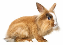 Little brown pet rabbit. White background royalty free stock images