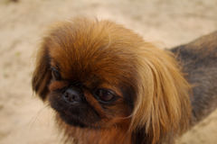 Little brown pikines dog. A small brown dog of the Pekingese breed. Walking in the park Stock Images