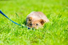 Little brown playful puppy hiding in green grass Royalty Free Stock Photo